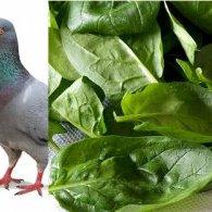Tourte de pigeon  au foie gras, épinard et ses jeunes pousses